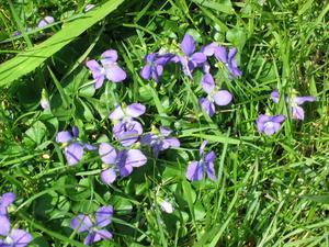 purple_inthegrass